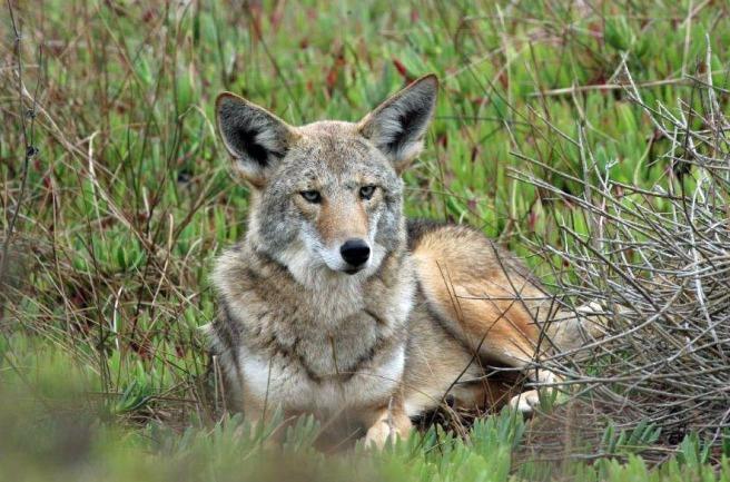 dads-coyote-crop-cn